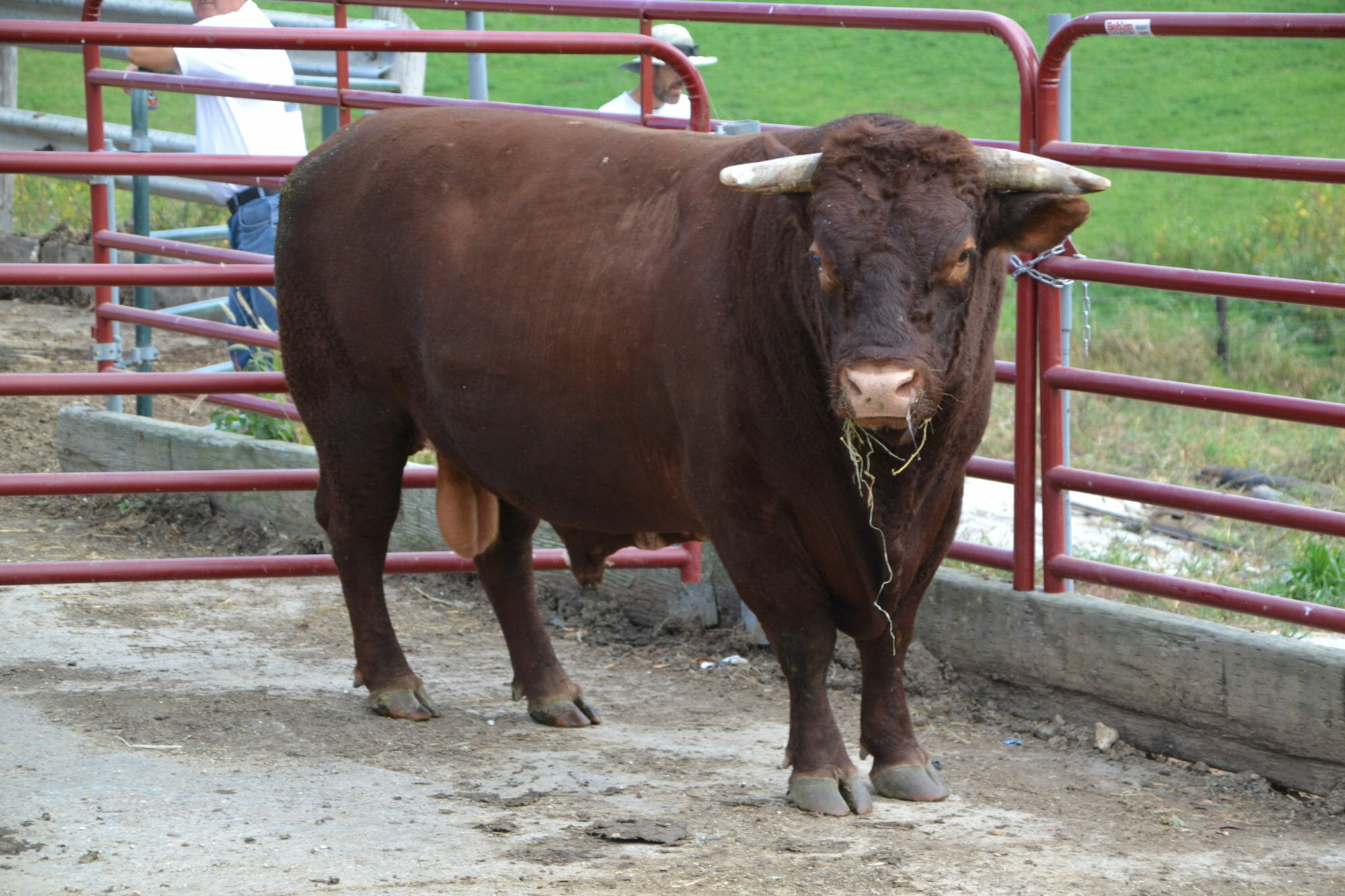 Red Devon Bull