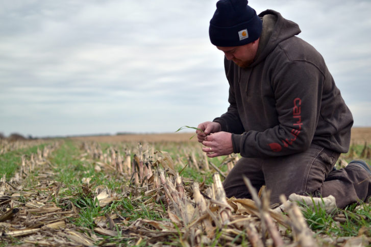 A male farmer, dressed for cold weather kneels in a harvested field of corn where a lush, green cover crop is growing among what's left of the corn stalks
