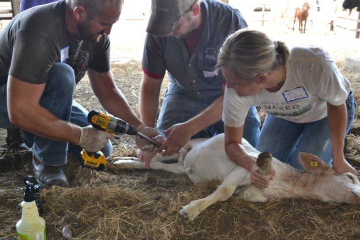 Henderson castrating tool on a calf
